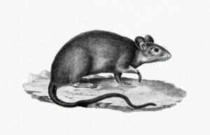 4 Tips Memilih Lem Tikus Yang Bagus