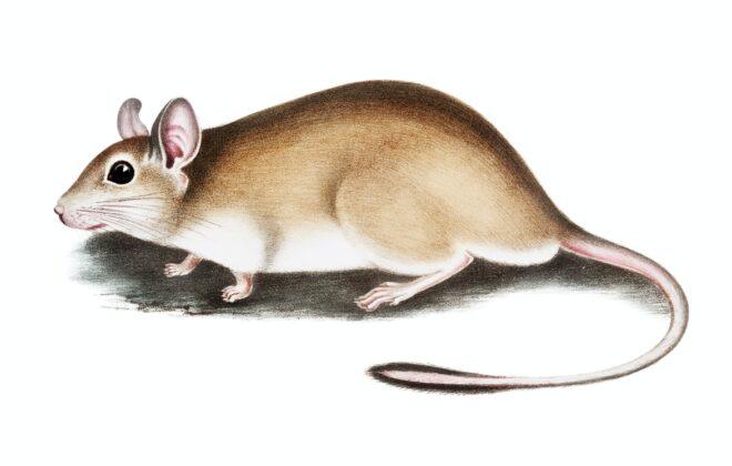 jebak tikus